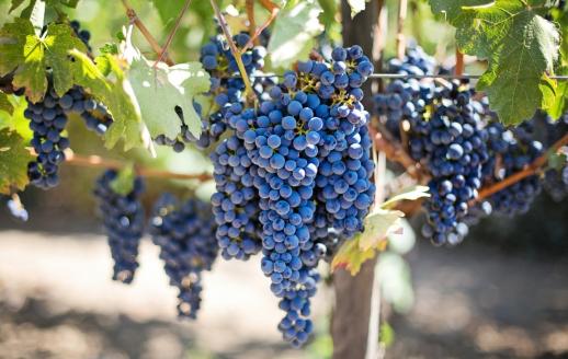 purple grapes 553464 1920 1152x768